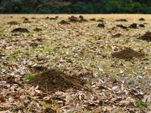 Molehills spread out across a field. Small mountains of molehill dirt from tunneling moles on an otherwise grassy field Stock Image