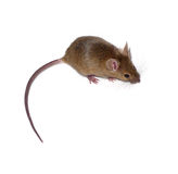 Small mouse Royalty Free Stock Images