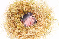 Small mouse babies in nest Stock Images
