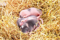 Small mouse babies in nest. Small mouse babies in straw nest, close up stock photography