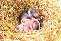 Small mouse babies in nest Royalty Free Stock Photos
