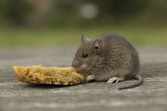 Small mouse with bread. The little mouse nibbles the bread crust Stock Photography