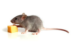 Small mouse and cheese Stock Photo