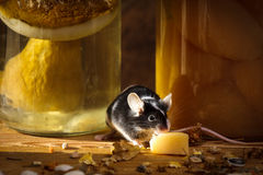 Small mouse eating cheese in basement Stock Photography