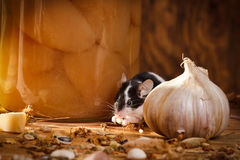 Small mouse eating something stock photos
