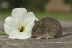 Small mouse with the flower. Little mouse sitting near the white flower Royalty Free Stock Images