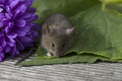 Small mouse with the flower. Little mouse sitting near the purple flower Royalty Free Stock Images
