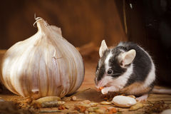 Small mouse with garlic in basement stock photos