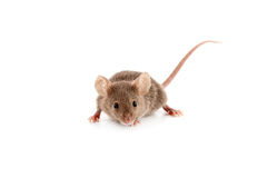 Small mouse Stock Images