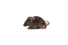 Small mouse Stock Image
