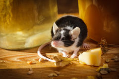 Small mouse smell something in basement Stock Photo