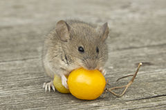 Small mouse with the tomato. The little mouse sitting on the tomatoes Royalty Free Stock Photo