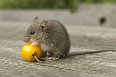 Small mouse with the tomato. The little mouse sitting on the tomatoes Royalty Free Stock Image