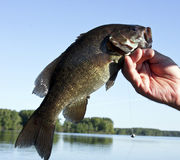 Small mouth bass. Freshwater small mouth bass from a wisconsin lake held by the lip close up with water and trees in the background royalty free stock images