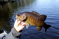 Small-Mouth Bass Closeup. With a lake in the background royalty free stock images