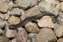 Small-mouth salamander Stock Photography