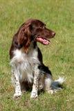 Small munsterlander dog. In the garden Stock Image