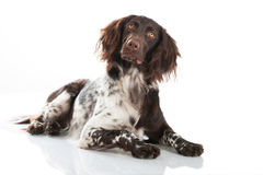 Small munsterlander dog Royalty Free Stock Photography