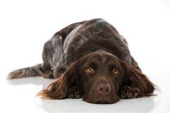 Small munsterlander dog on white background Royalty Free Stock Photo