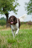 Small munsterlander dog Royalty Free Stock Image
