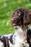 Small munsterlander dog Stock Image