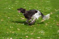 Small munsterlander dog Royalty Free Stock Photos