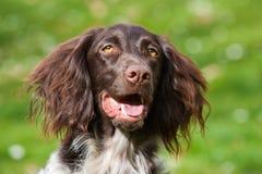 Small munsterlander dog Stock Images