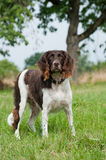 Small munsterlander dog Stock Images