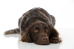 Small munsterlander dog on white background Royalty Free Stock Photo