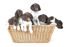 Small Munsterlander puppies in wicker basket Stock Image