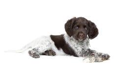 Small Munsterlander Puppy Royalty Free Stock Image