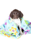 Small Munsterlander puppy with blanket Royalty Free Stock Photo