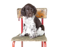 Small Munsterlander puppy on chair Stock Photos