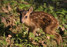 A small muntjac. Muntjac deer is looking for something to eat stock photos