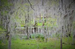 Small murky pond. Surrounded by trees covered in Spanish moss Stock Photos