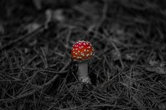 Small mushroom in the conifer forest stock photo