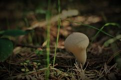 Small mushroom in the dark forest royalty free stock photos