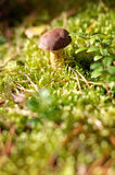 Small mushroom in the forest Royalty Free Stock Photo