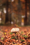 Small mushroom in forest Stock Images