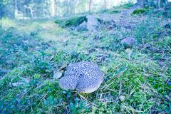 Small mushroom on a gentle wooded hillside royalty free stock images