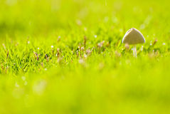Small mushroom grow in grassland Royalty Free Stock Photography