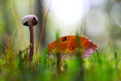 Small mushroom between the mos. S and an autumn beech leaf. Soft focus with nice bokeh royalty free stock photos