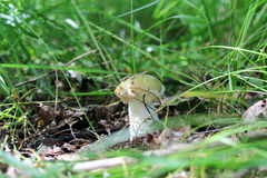 Small mushroom russula growing in the summer forest Stock Photography