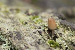 A small mushroom royalty free stock photography