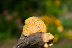 Small mushroom on stick Royalty Free Stock Images