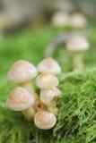 Small Mushroom Toadstools (Armillaria tabescens). Royalty Free Stock Photo