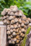 Small Mushrooms of Different Colours on Mossy Tree Stump Royalty Free Stock Photo