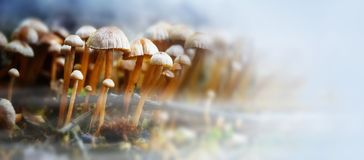 Small mushrooms in the forest with autumn fog, panorama format w Stock Photo