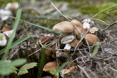 Small mushrooms group in the nature. Royalty Free Stock Image