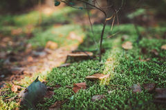 Small mushrooms in the moss. Autumn Stock Images